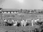 岭南大学的乳牛场